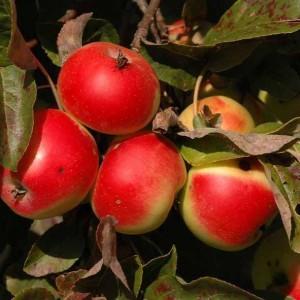 mela trentino